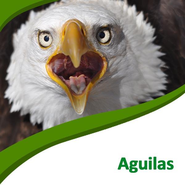 Águilas Tierra Rapaz