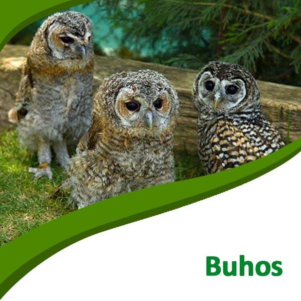 Búhos Tierra Rapaz