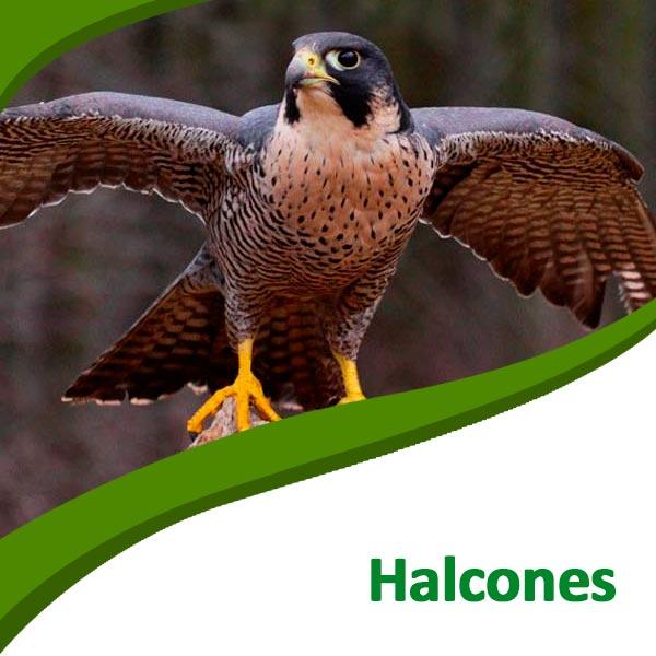 Halcones Tierra Rapaz