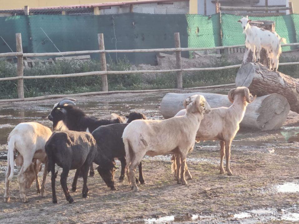 El esquilador visita a las ovejas de Tierra Rapaz